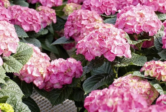 Cu ndo se podan las hortensias poda de hortensias - Cuando podar las hortensias ...