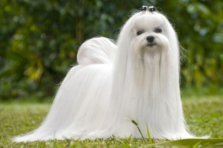 Perros de raza Pequeña Maltes