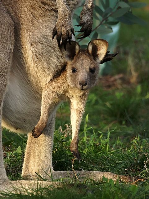 **Eastern Grey Kangaroo joey