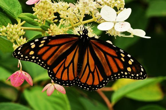 Monarch Butterfly, Beloeil, Quebec, Photo by Richard Guimond ©2013 20130814 9507 (2) Camera:KONICA MINOLTA MAXXUM 7D Focal Length:100 mm Shutter Speed:1/200 sec Aperture:f/9 ISO:200
