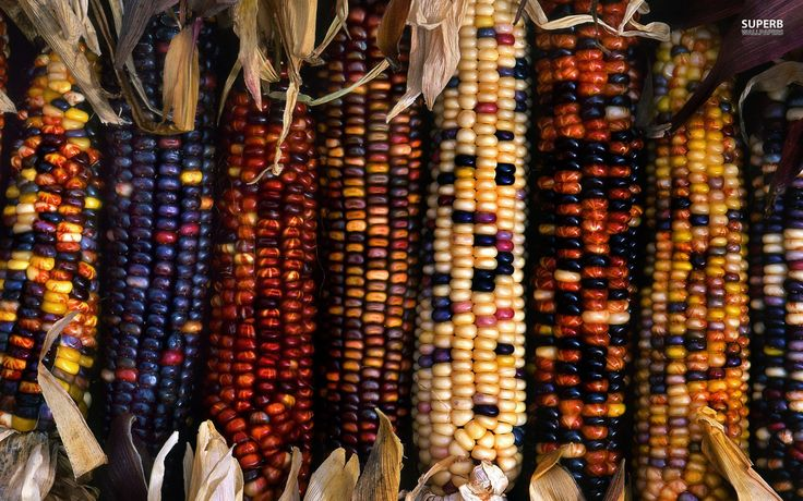 Flint Corn can be identified on the stalk by its brightly colored corn silk tassels. Description from pinterest.com. I searched for this on bing.com/images