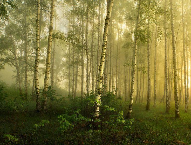 Birch Forest ,Russia