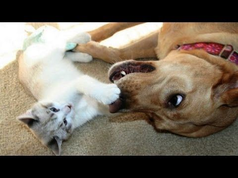 Cute cats and dogs playing together - Funny dog & cat ...