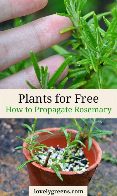Plants for Free: How to Propagate Rosemary