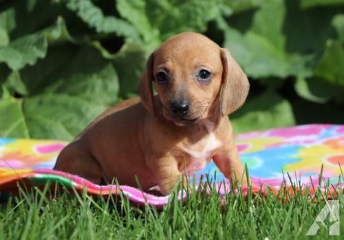 Miniature Dachshund Puppy For Sale Adoption Rescue For Dachshund On A Diet Obese Ohio Pup Loses 80 In 2020 Dog Breed Info Dachshund Puppies For Sale Dachshund Rescue