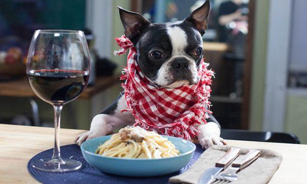 This Boston Terrier dog is also a Good Cook! Watch ► http://www.bterrier.com/?p=20452 - https://www.facebook.com/bterrierdogs
