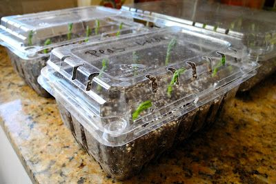 start seeds indoors in plastic strawberry containers