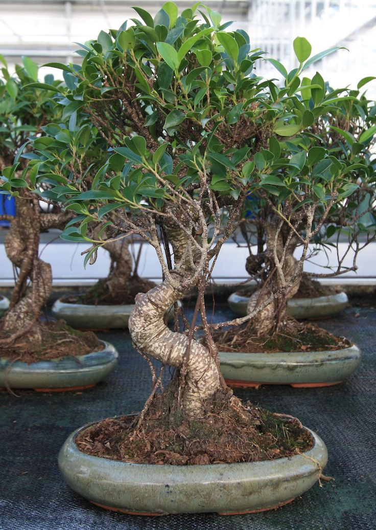 91 best images about ficus bonsai on pinterest bonsai. Black Bedroom Furniture Sets. Home Design Ideas