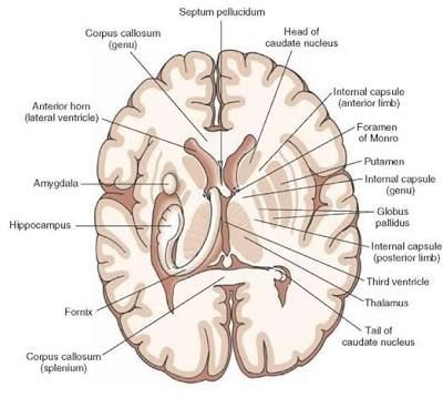 142 best the human brain images on pinterest the brain overview of the central nervous system gross anatomy of the brain part 2 ccuart Choice Image