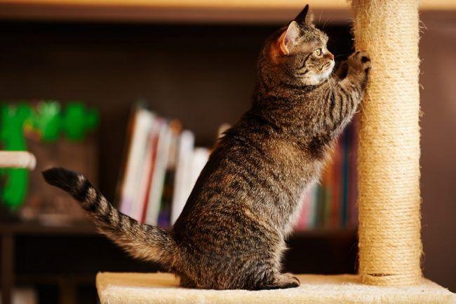Munchkin cat - 31 Picture