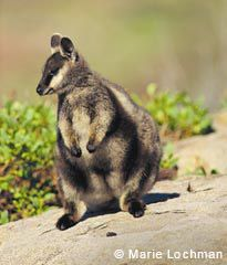Black-flanked Rock-wallaby (Petrogale lateralis lateralis), also known as the Black-footed Rock-wallaby.