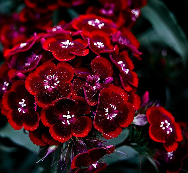 Dianthus or Sweet William - wow!