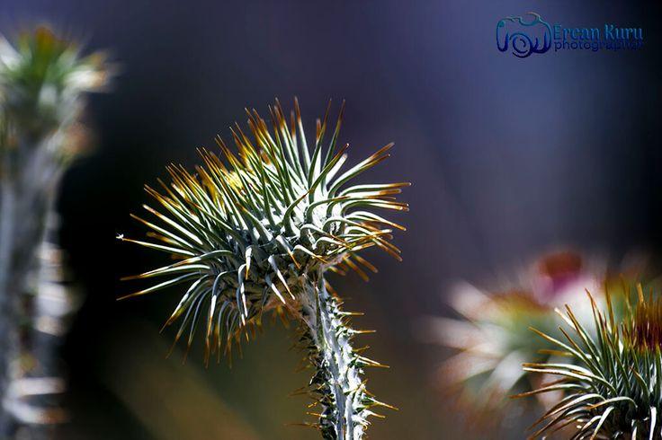 Dikkat!!! Pazartesi geliyor... http://www.ercankuru.com.tr/project/cicek-bahcesi/  #çiçek  #flower  #çiçekler  #flowers  #çiçekbahçesi  #flowergarden  #çiçekçi  #florist  #makro  #macro  #diken  #thorn  #pazaresi  #Monday