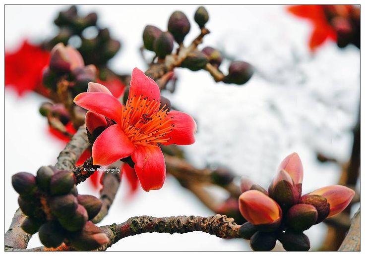 木棉 Cotton Tree Bombax Ceiba Photo Kriscilla So