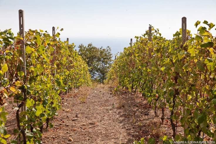 the vineyard and the sea | Grape harvest 2012 | Pinterest | Vineyard