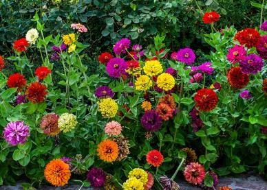 Best 25 Zinnias Ideas On Pinterest Zinnia Garden