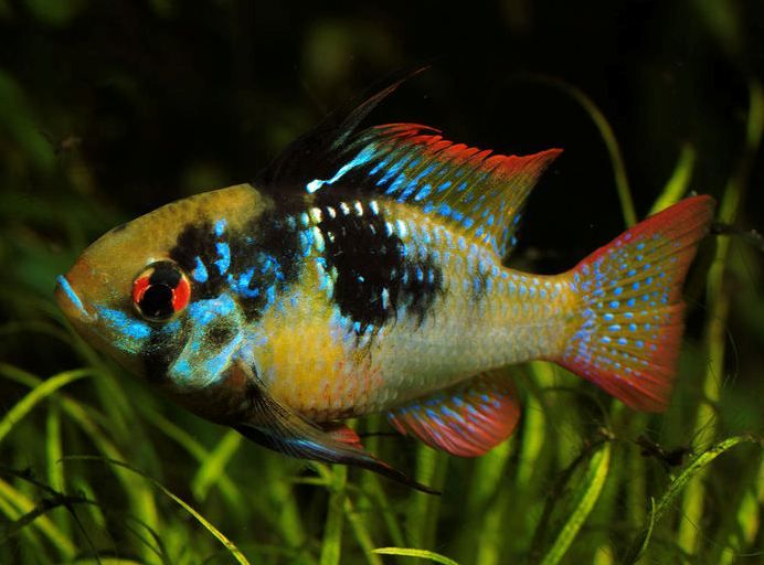 47 Best Images About Ram Cichlid On Pinterest Gold