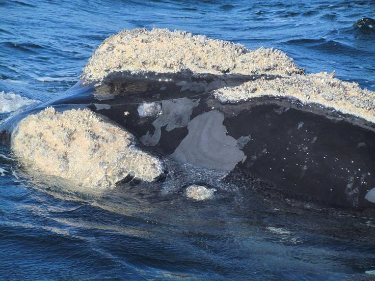 The Southern Right Whale - easily identifiable due to the callosites (caused by whale lice) on the head.  A regular annual visit to South African shores in huge numbers!