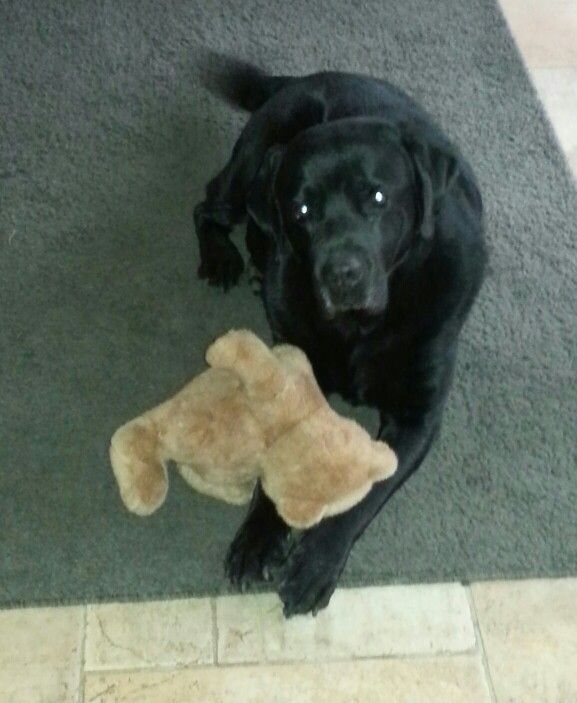 the bear of my labrador