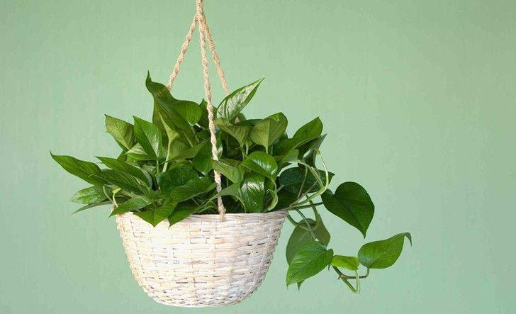 10 best air purifying plants images on pinterest indoor for Plantas de interior lengua de gato