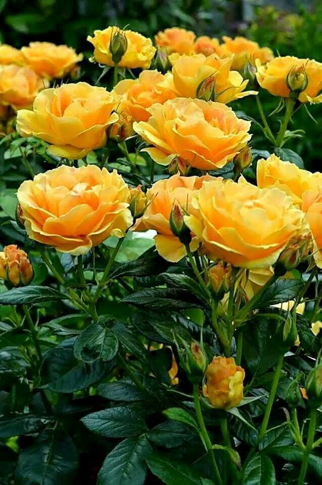 """A cor brilhante e ensolarada das rosas amarelas evocam um sentimento de calor, alegria e felicidade...É por isso que deve caber, em nós, a beleza das rosas de todas as cores...  Marilina Baccarat no livro """"A BELEZA DA FELICIDADE """""""