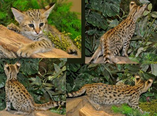 Caracal Cat For Sale Texas