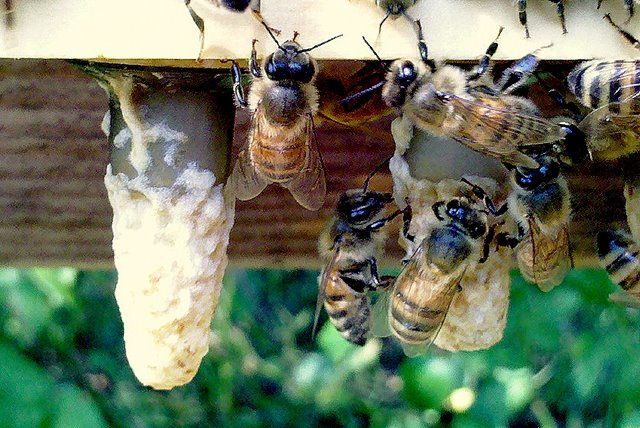 I've always wanted to have Bees - may be time to live my dream.  Beginner to Beginner Queen Rearing...kb come back read and watch videos