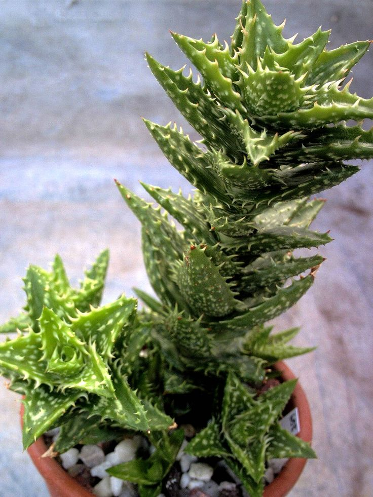 Aloe juvenna (Tiger Tooth Aloe) → Plant characteristics and more photos at: http://www.worldofsucculents.com/?p=1775
