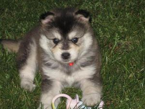 Perry the Pomsky is an adoptable Pomeranian Dog in Hendersonville, NC. Perry the Pomsky is a loving little guy. He's been identified as a pomsky. He'll be a great family pet....