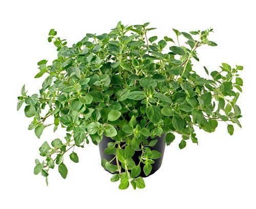 Oregano  When you're suffering from cold or flu, steep oregano in a pot of water and inhale the vapors, which are antibacterial, antiviral and decongesting. This immunity-enhancing herb also settles digestion and prevents bloating.