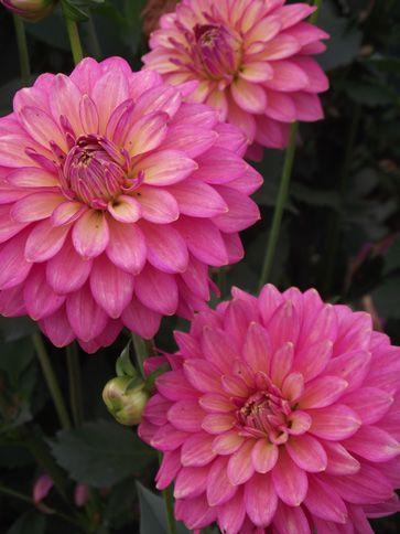 Ferncliff Vintage - Vintage rose pink. Reflexing habit - full of blooms. 5'