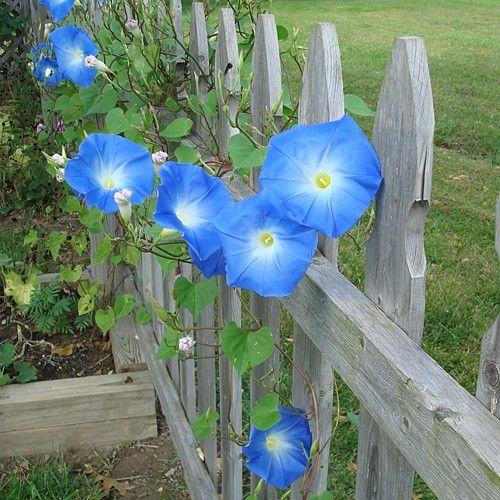 ipomeias azuis - trepadeira de folha caduca