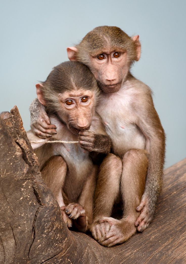 795 best images about Apes - Great Apes & Lesser Apes on ...