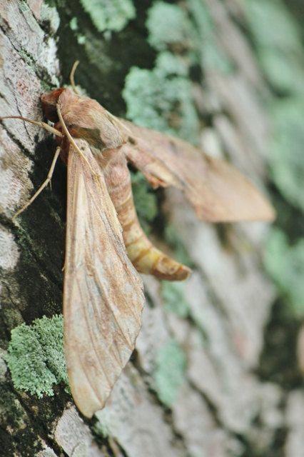 P Moth Decorator Moth Print Woodland De...