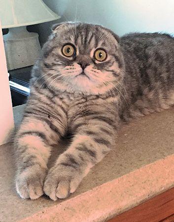 American shorthair cat breeders usa