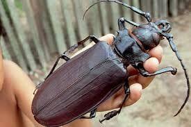 Escarabajo Titan