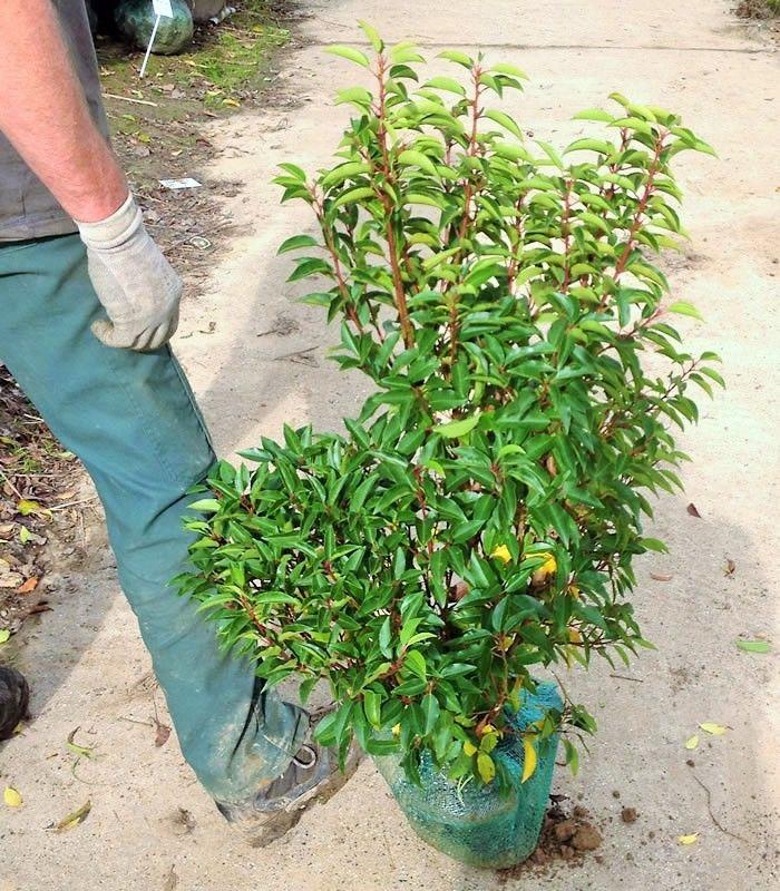 laurier du portugal (prunus lusitanica) de hauteur 80/100 cm