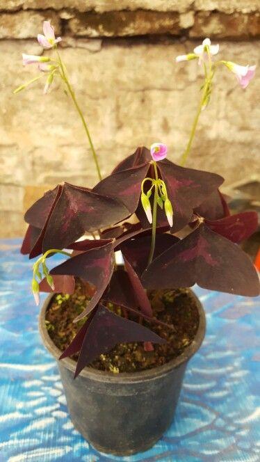 """"""" Oxalis Regnellii Atropurpurea -- Trébol morado o mariposa """" - Dentro de la familia de las oxalidáceas, nos encontramos con esta curiosa planta conocida también como trébol mariposa o trébol morado. - Es una planta herbácea y originaria de las regiones tropicales de Brasil. - Es rizomatosa, como hemos explicado en otrasentradas, por lo que sus tallos parten de un bulbo y son finos, de color verde claro, y esbeltos, pudiendo alcanzar hasta los 20 o 30 centímetros de altura. - Cada tallo…"""