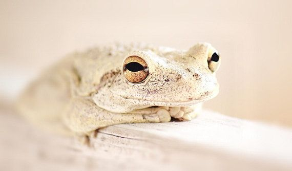 Dreamy Soft Frog Photography, Tree Frog Prints, Frog Photo, Cream Nude Soft Tan, 4x6 Photograph
