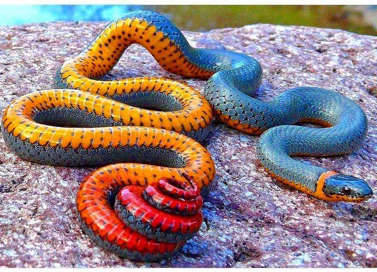 Regal Ringneck Snake mental_wildlife Animais silvestres