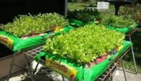 Simple, Weed-Free Way To Grow Lettuce, Spinach and Even Radishes