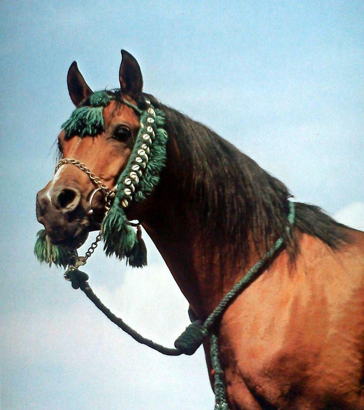 Russlands Pferde * Araber Achal-Tekkiner Tersk Gestüte Hengste * Barminzew 1977