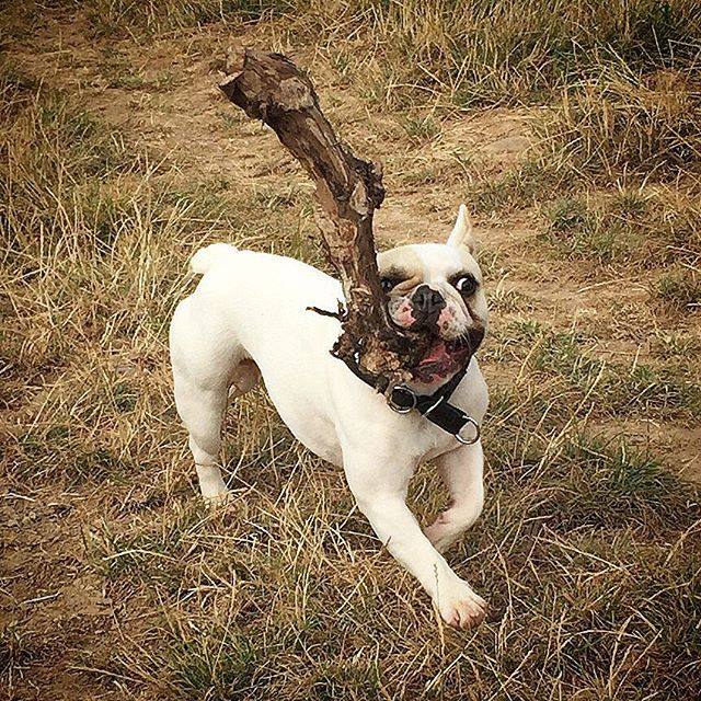 115 best images about frenchie love on pinterest french bulldog tattoo white french bulldogs. Black Bedroom Furniture Sets. Home Design Ideas