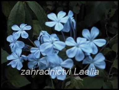 Olověnec - Plumbago auriculata
