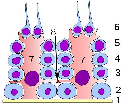 Germinal epithelium of the testicle. 1: basal lamina 2: spermatogonia 3: spermatocyte 1st order 4: spermatocyte 2nd order 5: spermatid 6: mature spermatid 7: Sertoli cell 8: tight junction (blood testis barrier)
