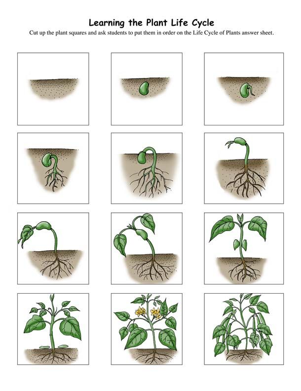 Plant lifecycle printable PDF