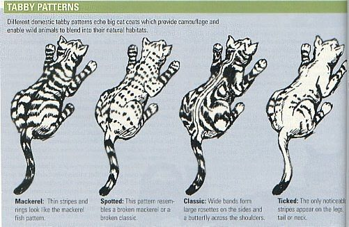 Image result for ticked pattern tabby Siberian cats for