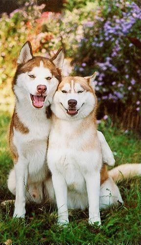 Siberian Huskies are another favorite breed of mine. They are outgoing, intelligent, friendly, energetic, loyal, gentle and eager to please. Except their friendly manner keeps them from being good watch dogs, they make nice and also they are the houdini.s of the canines. They love to dig, its like a game to them.