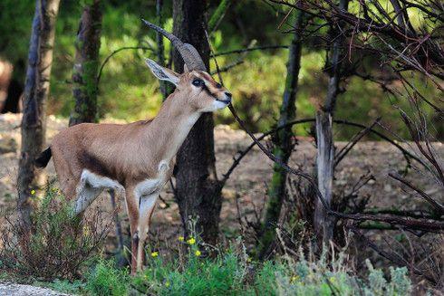 Des gazelles de Cuvier sont arrivées à la Réserve Africaine de Sigean