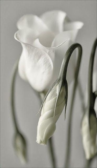 Reine weiße Blume